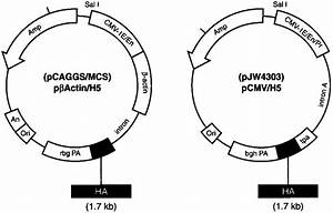 Schematics Of Pjw4303  H5 And Pcaggs  Mcs  H5 Dnas Used For Immunizations