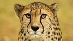 It U2019s International Cheetah Day