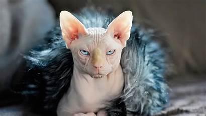 Sphynx Cat 4k Cats Kittens Wallpapers Face