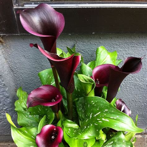 growing calla lilies indoors 17 best images about outdoor area on pinterest gardens decorative concrete and zantedeschia