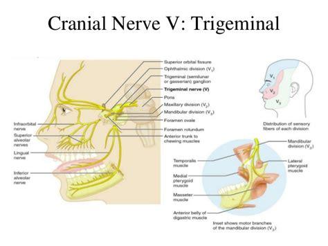 150 cranial nerves anatomy