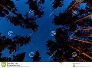 Pine Tree Forest at Night stock photo. Image of evening ...