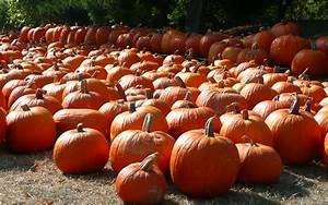 MLeWallpapers.com - Pumpkin Patch