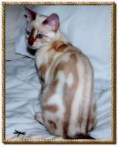 Supernova Bengals - Bengal Cat Breeders based in Alloa ...