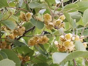 L Arbre Du Kiwi : kiwi conseil jardinage application en phytoth rapie et recette de cuisine ~ Melissatoandfro.com Idées de Décoration