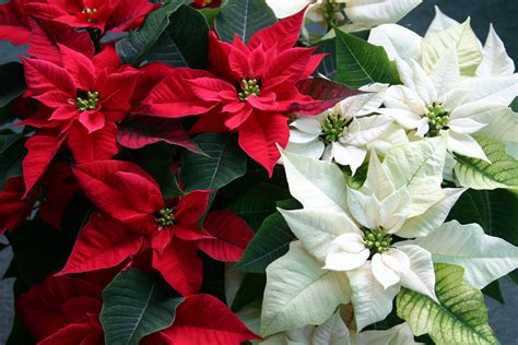 christmas plants images caring for holiday poinsettia plants