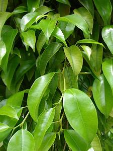 Ficus Benjamini Vermehren : ficus benjamina wikiwand ~ Lizthompson.info Haus und Dekorationen