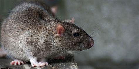 hausmittel gegen ratten hausmittel gegen ratten hausmittel gegen ratten ratten