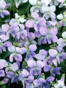 Perennial Flower Ground Cover Plants