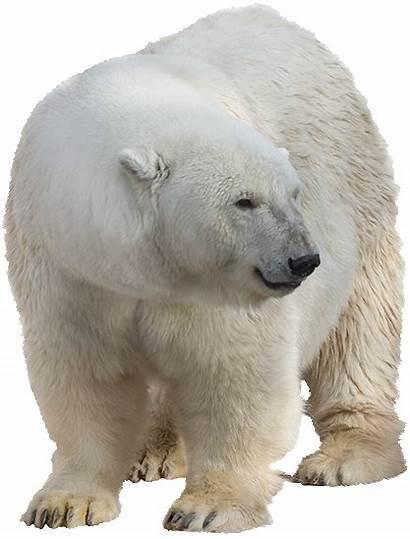 Polar Bear Transparent Background Animals Pngimg Brown