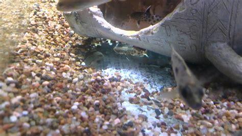 aquarium scavenger fish  aquarium ideas