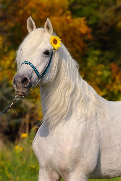 horses horse ponies arabian kuda gambar cheval arabe pony very blanc google animal cavallo hd animals elsoar grey arabo bianco