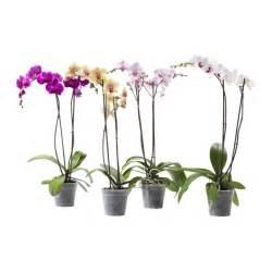 phalaenopsis plante en pot ikea
