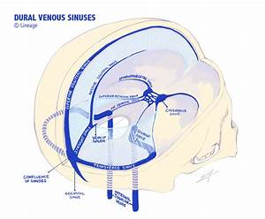 Dural Venous Sinuses - Neurology