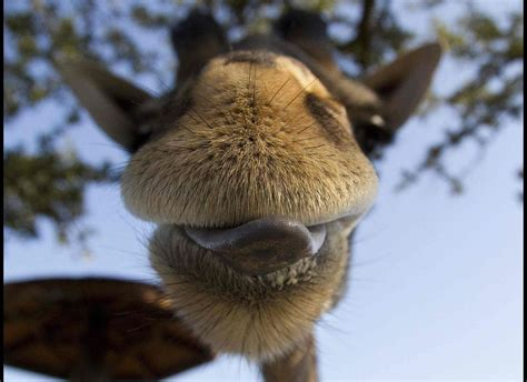 giraffe neck crooked houston zoo its licks lips dec