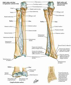 Human Anatomy. Ulna and Radius Anatomy Definition: atlas ...