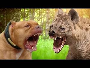 Pitbull vs Hyena - Who would win in a Fight? - YouTube