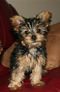yorkie puppy in tan and black.jpg