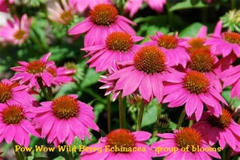 echinacea pow wow wild berry purple coneflower