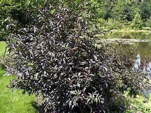 Holunder Black Beauty Standort : rotbl ttriger holunder sambucus nigra 39 purpurea ~ Michelbontemps.com Haus und Dekorationen