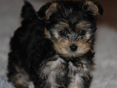 do yorkie poos shed puppies for sale that do not shed breeds picture