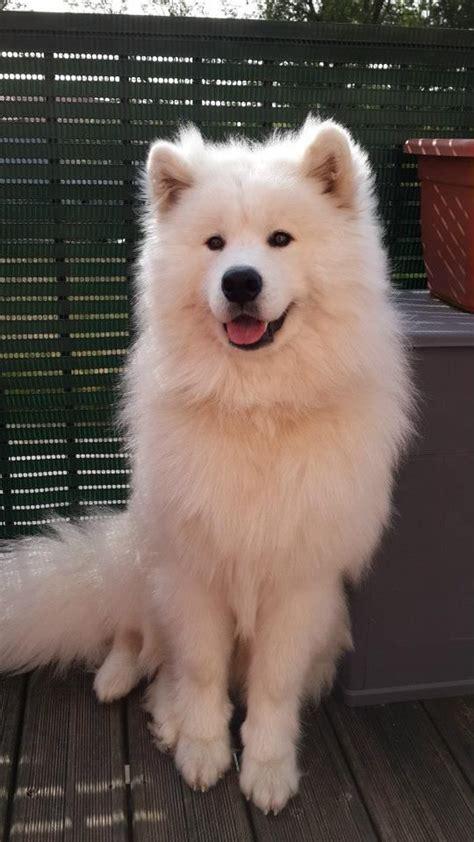 299 Best Samoyeds Images On Pinterest Doggies Samoyed