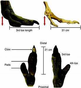 Toe Function And Dynamic Pressure Distribution In Ostrich Locomotion