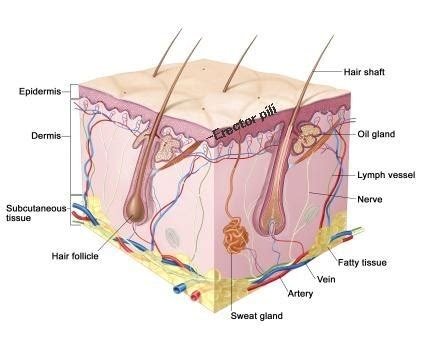 skin structure and function definition diagrams