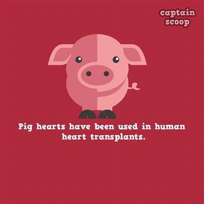 Facts Animals Amazing Know Animal Interesting Pig