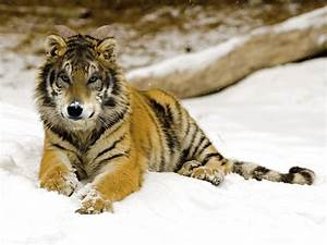Wolf or Tiger o... Wolf Vs Tiger Quotes