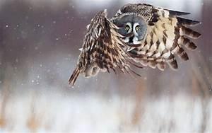 Owl Desktop Background