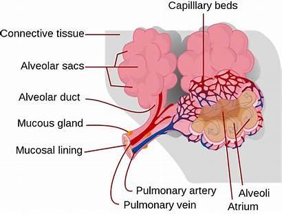 Alveolus Lung Lungs Air Alveolar Disease Pulmonary