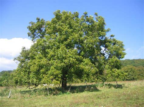 walnut tree walnut juglans regia feedipedia