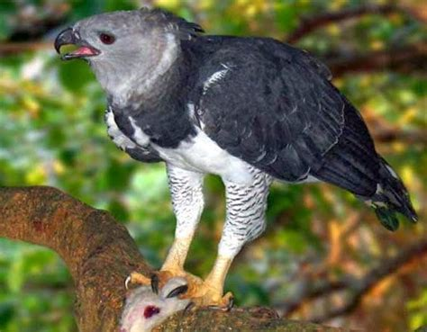 amazon rainforests animals  harpy eagle amazon