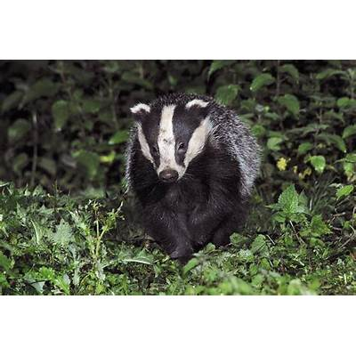 European Badger Photograph by Colin Varndell