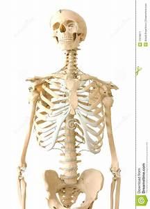 Menselijk Skelet Stock Afbeelding  Afbeelding Bestaande