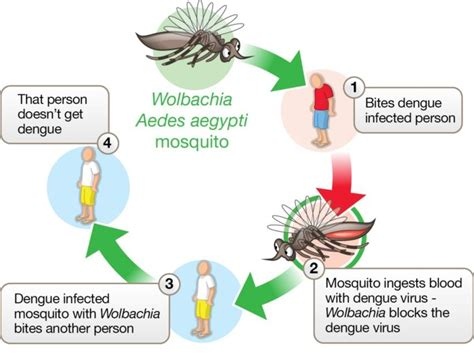 bacteria block transmission  zika  dengue viruses