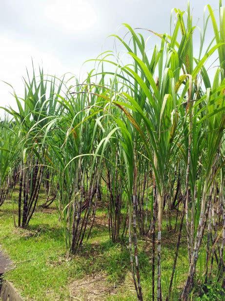 sugar cane plant field  stock photo public domain