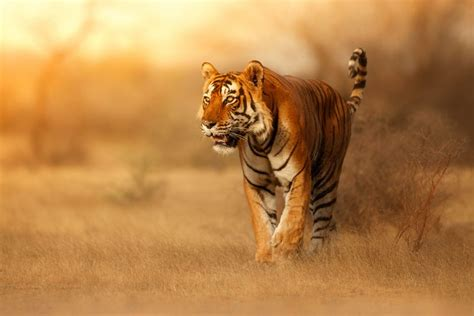 Tiger Walk During The Golden Light Time Nature Wallpaper