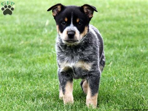 Blue Heeler Lab Mix Shedding by The World S Catalog Of Ideas