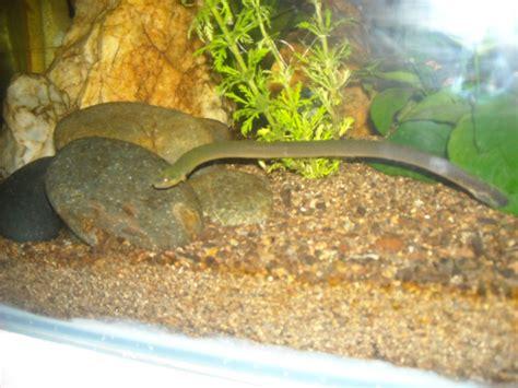 serpent aquarium eau douce erpetoichthys calabaricus serpent d eau douce
