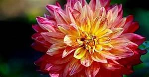 Quand Planter Des Dahlias : les dahlias comment les planter et les entretenir ~ Nature-et-papiers.com Idées de Décoration