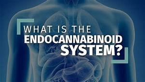 What Is The Endocannabinoid System   Ultimate Guide