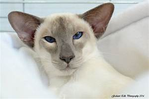 Lilac Point Siamese and Oriental Pictures 2016