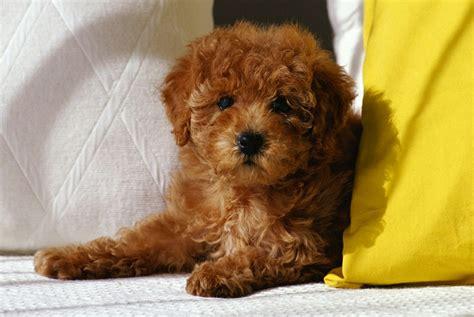 Tiny Non Shedding Dog Breeds by Poodle Toy Poodle Dog Breed Standards
