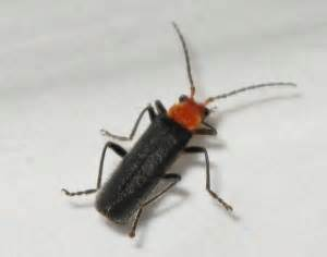 soldier beetle whats  bug