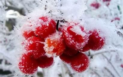 Berries Snow Winter Cranberry Nature Fruits Fruit