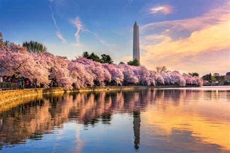 cherry blossoms washington history magazine march united states area gave