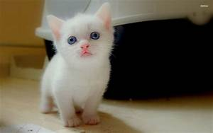 black+kitten+with+blue+eyes | Wallpaper a white kitten ...