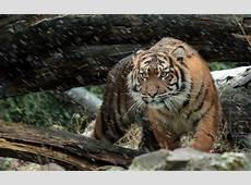 Wild Sumatran Tiger 4K Wallpapers HD Wallpapers ID #19599